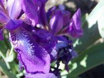 Ίριδες λουλουδιών Στοκ Εικόνες