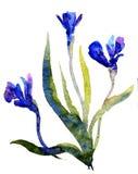 Ίριδες Watercolor Στοκ Εικόνες