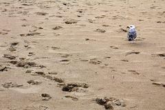 Ίχνη και seagull στην αμμώδη παραλία στην παραλία Μαύρης Θάλασσας σε Obzor, Βουλγαρία Στοκ Εικόνες