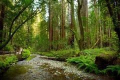 Ίχνη πεζοπορίας μέσω του γίγαντα redwoods στο δάσος Muir κοντά στο Σαν Φρανσίσκο, Καλιφόρνια Στοκ Εικόνες