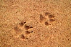 Ίχνη σκυλιών ` s στη χρυσή άμμο, ελεύθερου χώρου για το κείμενο και το σχέδιο Στοκ εικόνες με δικαίωμα ελεύθερης χρήσης
