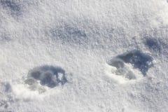 Ίχνη σκυλιών στην κινηματογράφηση σε πρώτο πλάνο χιονιού στην ηλιόλουστη ημέρα Μαρτίου, ρωσικό γ Στοκ Εικόνες