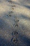 Ίχνη σκυλιών Στοκ φωτογραφίες με δικαίωμα ελεύθερης χρήσης
