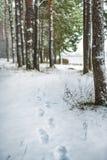 Ίχνη στο χιόνι στο δάσος πεύκων στοκ φωτογραφία