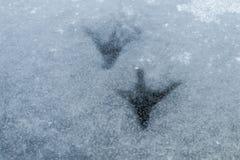 Ίχνη του Κύκνου Ίχνη στην παγωμένη λίμνη στοκ φωτογραφία