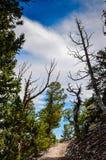 Ίχνος αλσών πεύκων Bristlecone - μεγάλο εθνικό πάρκο λεκανών - Baker Στοκ Φωτογραφίες