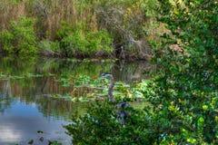 Ίχνος ΛΦ-Everglades εθνικό πάρκο-Anhinga Στοκ Φωτογραφία