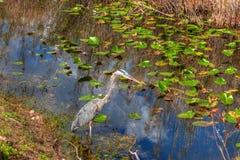 Ίχνος ΛΦ-Everglades εθνικό πάρκο-Anhinga Στοκ φωτογραφία με δικαίωμα ελεύθερης χρήσης