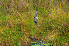 Ίχνος ΛΦ-Everglades εθνικό πάρκο-Anhinga Στοκ Εικόνες