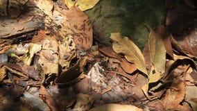 Ίχνος μυρμηγκιών σε ένα δάσος απόθεμα βίντεο