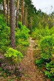 Ίχνος σε ένα δάσος πεύκων στοκ εικόνες