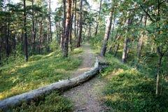 Ίχνος στα ξύλα κοντά στη θάλασσα στους αμμόλοφους Στοκ Εικόνες