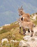 Αίγαγροι κοντά σε Chamonix στοκ εικόνες