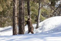 Αίγαγροι στο εθνικό πάρκο, Aosta Στοκ Φωτογραφίες
