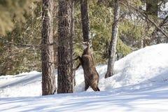 Αίγαγροι στο εθνικό πάρκο, Aosta Στοκ φωτογραφία με δικαίωμα ελεύθερης χρήσης