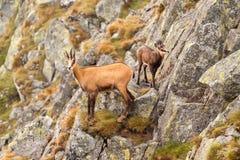 Αίγαγροι (Rupicapra) στο βουνό - το φυσικό περιβάλλον του Στοκ φωτογραφία με δικαίωμα ελεύθερης χρήσης