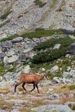 Αίγαγροι Tatra στο ύψος Tatras Στοκ φωτογραφίες με δικαίωμα ελεύθερης χρήσης