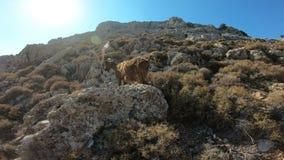 Αίγα βουνών σε έναν βράχο στην Ελλάδα απόθεμα βίντεο