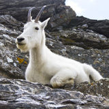 Αίγα βουνών στους απότομους βράχους, Μοντάνα ΗΠΑ Στοκ Φωτογραφίες
