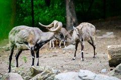 Αίγα βουνών στο ζωολογικό κήπο στοκ εικόνες