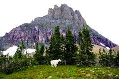 Αίγα βουνών στο πάρκο παγετώνων στοκ εικόνες με δικαίωμα ελεύθερης χρήσης