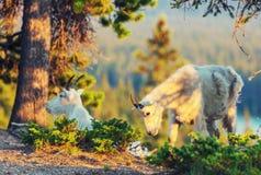 Αίγα βουνών Στοκ εικόνες με δικαίωμα ελεύθερης χρήσης
