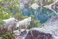 Αίγα βουνών Στοκ φωτογραφίες με δικαίωμα ελεύθερης χρήσης