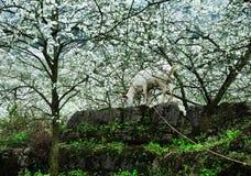 Αίγα και ανθίζοντας κήπος Στοκ φωτογραφία με δικαίωμα ελεύθερης χρήσης