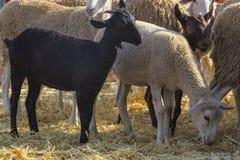 Αίγα και πρόβατα, μαύρη αίγα στοκ εικόνες με δικαίωμα ελεύθερης χρήσης
