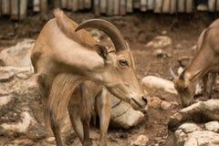 Αίγα με τα κέρατα στο ζωολογικό κήπο κανονικά στις περιοχές βουνών αλλά μερικές φορές στα αγροκτήματα για το γάλα ή το κρέας του στοκ εικόνες