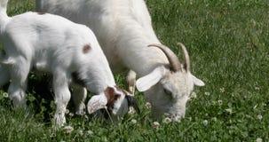 Αίγα μητέρων και μωρών που τρώει το άσπρο τριφύλλι απόθεμα βίντεο