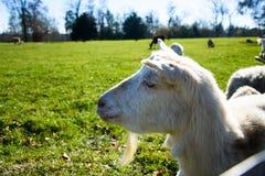 Αίγα, πρόβατα ή προβατίνα Στοκ εικόνες με δικαίωμα ελεύθερης χρήσης