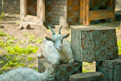 Αίγα σε έναν ζωολογικό κήπο Στοκ φωτογραφίες με δικαίωμα ελεύθερης χρήσης