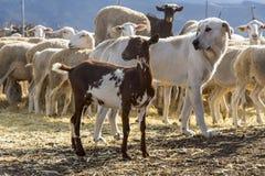 Αίγα, σκυλί, κοπάδι προβάτων στο αγρόκτημα στοκ εικόνες