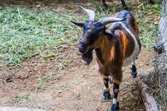 Αίγα στον κήπο, Goatin ο βιότοπος φύσης Στοκ Φωτογραφία