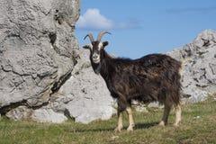 Αίγα (hircus aegagrus Capra) στους τομείς Cantabria, Ισπανία Στοκ Εικόνες