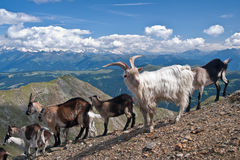 Αίγες βουνών σε Gabler, δολομίτες (ΤΠ) Στοκ εικόνα με δικαίωμα ελεύθερης χρήσης