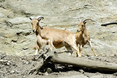 Αίγες βουνών, φιλικά ζώα στο ζωολογικό κήπο της Πράγας Στοκ εικόνα με δικαίωμα ελεύθερης χρήσης