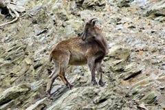 Αίγες βουνών, φιλικά ζώα στο ζωολογικό κήπο της Πράγας Στοκ Εικόνα