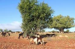 Αίγες και argan δέντρο Στοκ Εικόνες