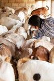 Αίγες μιας γυναικών βοσκής στο αγρόκτημά της, μια τοπική καλλιέργεια σε Chiang Mai, Ταϊλάνδη r στοκ φωτογραφίες