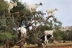 Αίγες που αναρριχούνται argan στο δέντρο Στοκ Εικόνα