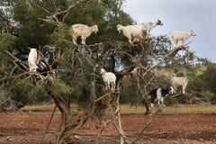 Αίγες που αναρριχούνται argan στο δέντρο Στοκ Εικόνες