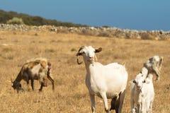 Αίγες που βόσκουν έξω στη φύση μια όμορφη ηλιόλουστη ημέρα στο νησί Paros στην Ελλάδα Στοκ Εικόνες