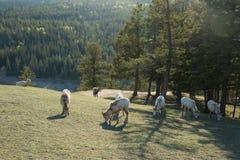 Αίγες που βόσκουν στο λιβάδι βουνών στοκ φωτογραφία με δικαίωμα ελεύθερης χρήσης