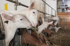Αίγες στο αγρόκτημα Στοκ φωτογραφία με δικαίωμα ελεύθερης χρήσης