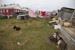 Αίγες στο χωριό της Καρελίας Στοκ φωτογραφίες με δικαίωμα ελεύθερης χρήσης