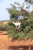 Αίγες στο argan δέντρο, Μαρόκο Στοκ Εικόνα