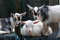 αίγες τρία μωρών στοκ εικόνες με δικαίωμα ελεύθερης χρήσης