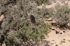 Αίγες argan στο δέντρο, Μαρόκο Στοκ εικόνα με δικαίωμα ελεύθερης χρήσης